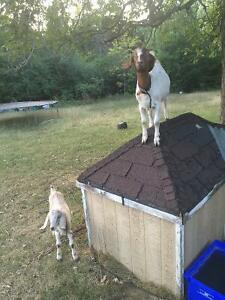 I'm selling my two goats as a package deal