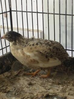 *** New Mutation King Quail Once Off Clearance 10PR for $300