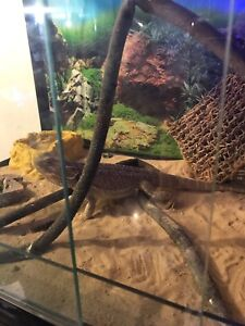 Male central bearded sandfire dragon and enclosure Liverpool Liverpool Area Preview