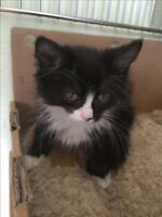 "Baby Female Cat - Domestic Short Hair: ""Tallua (s)"""