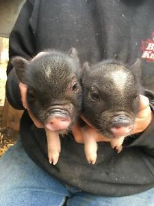 Adorale, small pot bellied piglets