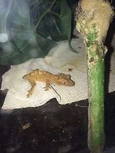 Selling 2 crested geckos with tank