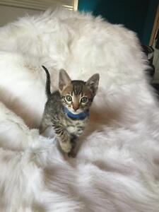 EXOTIC PUREBRED BENGAL KITTENS LOOKING FOR THEIR FUREVER HOMES