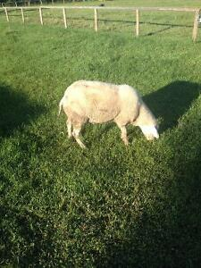 Purebred East Fresian Rams For Sale
