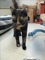 "Young Female Cat - Domestic Short Hair: ""Classy"""