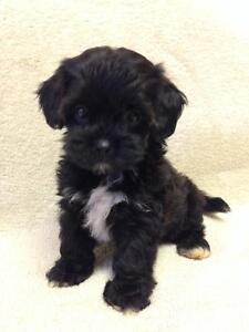 Teddybear Shihpoo Puppies ! Nonshed Hypoallergenic