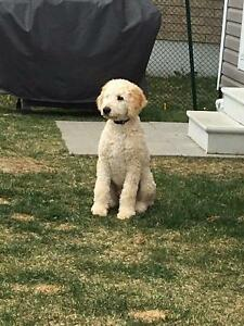 F1bMedium Goldendoodles hypo allergenic/low shed  Ted