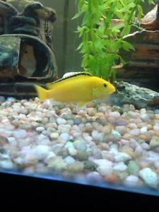 Cichlides yellow labido