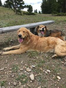 Missing: Golden Retriever and Australian Shepard