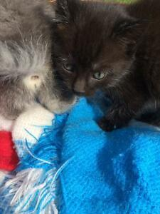 Two Gorgeous Black Kittens for Sale