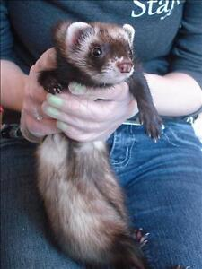 "Adult Female Small & Furry - Ferret: ""Biscuit"""