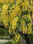 Tree Seeds