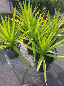 Yucca plants in pot Roxburgh Park Hume Area Preview