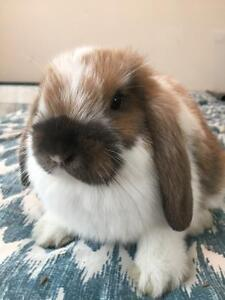 Beautiful baby Pure Bred Holland Lop bunnies!