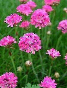 Sea thrift plant (Armeria Maritima) having beautiful pink flowers