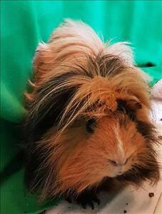 """Adult Male Small & Furry - Guinea Pig: """"Bowie"""""""