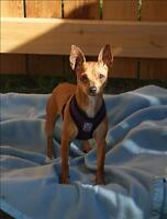 Adult Female  - Miniature Pinscher-Chihuahua