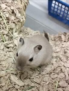 Adult Male  - Gerbil