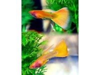 Tropical Fish - Yellow Taxi Guppies