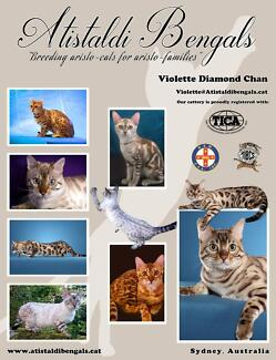 Double Grand Champion Snow Bengal Kittens