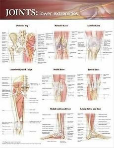 JOINTS OF THE LOWER EXTREMITIES (LAMINATED) POSTER (66x51cm) ANATOMICAL CHART