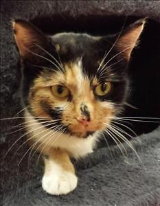 "Young Female Cat - Domestic Short Hair: ""Laverne -On Hold"""