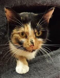 """Young Female Cat - Domestic Short Hair: """"Laverne"""""""
