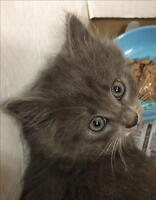"""Baby Female Cat - Domestic Medium Hair: """"Squiggle"""""""