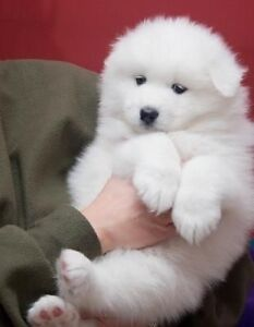 Looking for - SAMOYED Puppy!