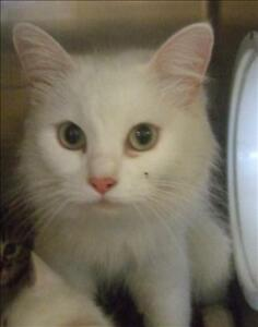 "Adult Female Cat - Domestic Medium Hair: ""Snowie"""
