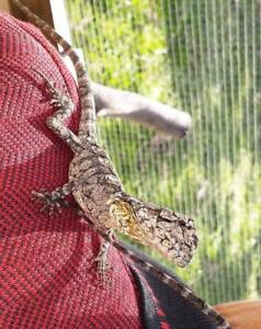 Greet your visitors with a dragon sitting on your shoulder! Townsville Townsville City Preview