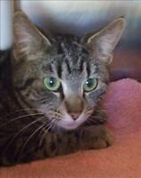 "Young Female Cat - Domestic Short Hair: ""Jennifer"""