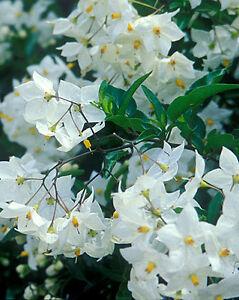 Solanum-Jasminoides-Album-Evergreen-Climber-Shrub