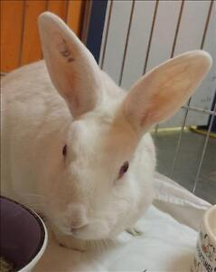 "Young Female Rabbit - American: ""Gala"""