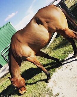 Wanted: 6 yr old rising tb gelding