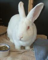 "Young Male Rabbit - New Zealand: ""Elliot"""