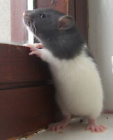 Looking for 2 Rats (AS PETS)