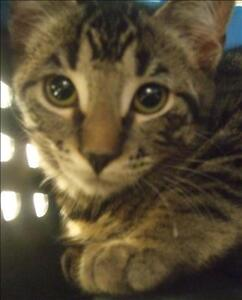 """Baby Female Cat - Domestic Short Hair: """"Meow"""""""