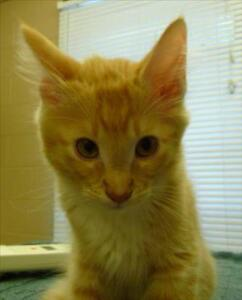 "Baby Male Cat - Domestic Short Hair: ""Sonny"""