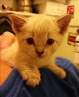"""Baby Male Cat - Siamese-Domestic Short Hair: """"Creamsicle"""""""