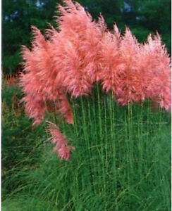 CORTADERIA PINK FEATHER THE HARDY PINK PAMPASS GRASS GARDEN PLANT IN 9CM POT