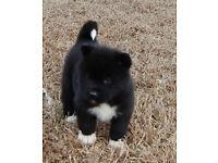 chunky japanese akita puppys