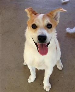 """Young Female Dog - Jack Russell Terrier: """"Bella"""""""