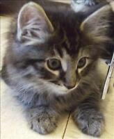 "Baby Male Cat - Domestic Long Hair: ""Beau"""
