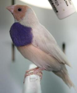 Silver and blue Gouldian finches