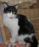 """Young Female Cat - Domestic Short Hair: """"Oreo"""""""