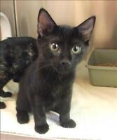 "Baby Male Cat - Domestic Short Hair: ""Tyler"""