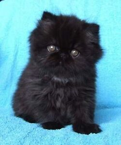 LOOKING FOR A BLACK PERSIAN KITTEN