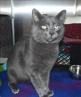 """Adult Male Cat - Domestic Short Hair: """"Sir Gregory"""""""
