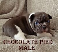 Chocolate, Black Brindle and Chocolate Pied, French Bulldog Pups